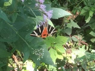 Butterflies IMG_0552