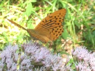 Butterflies IMG_0564