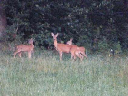 Deer P1100365
