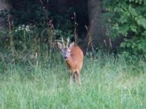 Deer P1100428