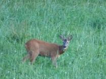 Deer P1100437